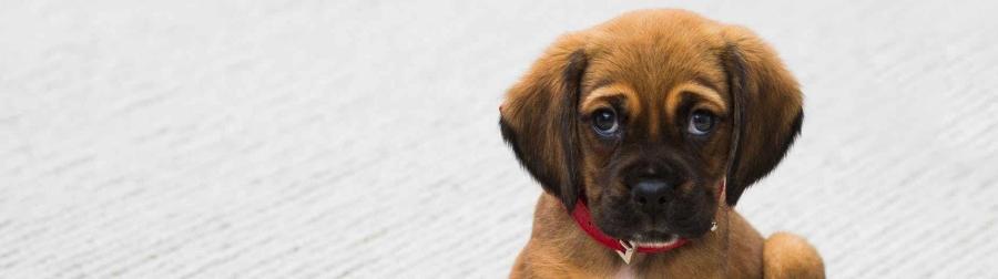 animal dog puppy pug